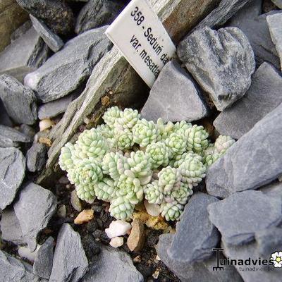 Sedum dasyphyllum subsp. dasyphyllum var. mesatlanticum -