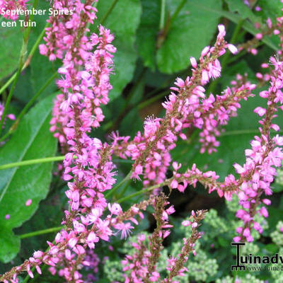 cultivars van duizendknoop persicaria virginiana var filiformis 39 painter 39 s palette 39. Black Bedroom Furniture Sets. Home Design Ideas