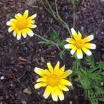 Chrysanthemum coronarium - Chrysanthemum coronarium - Gekroonde ganzebloem