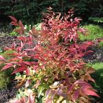 Nandina domestica 'Magical Sunrise' - Hemelse bamboe