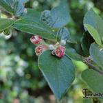 Cotoneaster - Cotoneaster - Dwergmispel