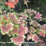 Pelargonium x hortorum 'Vancouver Centennial' (stellar type) - Pelargonium x hortorum 'Vancouver Centennial' (stellar type) - Geranium