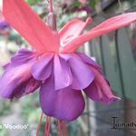 Fuchsia 'Voodoo' -