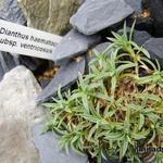 Dianthus haematocalyx subsp. ventricosus  - Dianthus haematocalyx subsp. ventricosus  - Anjer