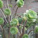 Aeonium - Aeonium - Vetplant