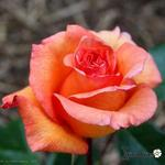 Roos - Rosa 'Doris Tysterman'