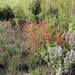 Persicaria amplexicaulis 'Border Beauty' - Persicaria amplexicaulis 'Border Beauty' - Duizendknoop