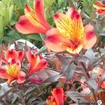 Alstroemeria 'Indian Summer' - Incalelie