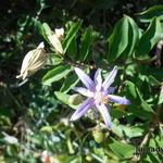 Grewia caffra - Grewia caffra - Lavendelster, Kruisbesje