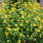 Heliopsis  helianthoides - Zonneoog