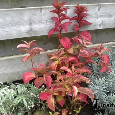 Hydrangea serrata 'Autumn Fire' -