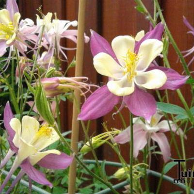 Aquilegia caerulea SPRING MAGIC-serie -