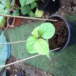 Basella alba (B.rubra) - Basella alba (B.rubra) - Klimmende spinazie, rode spinazie