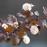 Blaasspirea - Physocarpus opulifolius 'Diabolo'