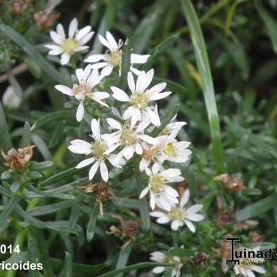 Aster ericoides -