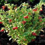 Vaccinium vitis-idaea 'Red Candy' - Vaccinium vitis-idaea 'Red Candy' - Vossenbes, rode bosbes