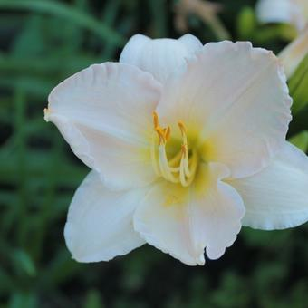 Hemerocallis 'Moon Madonna'