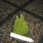 Picea glauca 'Laurin' -