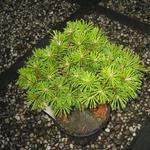 Pinus mugo 'Benjamin' - Pinus mugo 'Benjamin' - Bergden