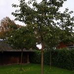 Prunus avium 'Hedelfinger Riesenkirsche' - Kerselaar - Prunus avium 'Hedelfinger Riesenkirsche'