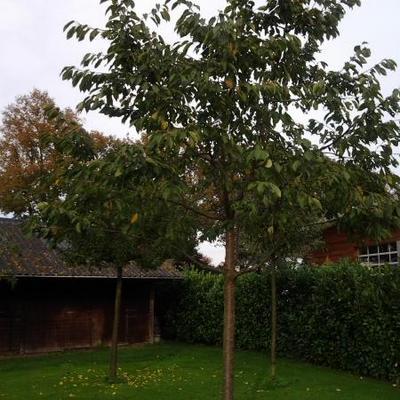 Prunus avium 'Hedelfinger Riesenkirsche' -