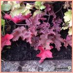 Heuchera 'Purple Petticoats' - Purperklokje