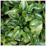 Lamium maculatum 'Anne Greenaway' - Gevlekte dovenetel - Lamium maculatum 'Anne Greenaway'