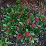 Skimmia japonica 'Rubella' - Skimmia - Skimmia japonica 'Rubella'
