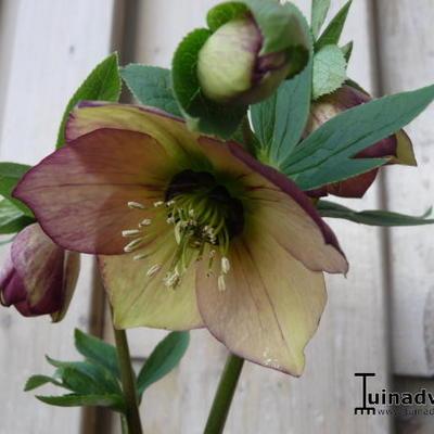 Helleborus orientalis 'Picotee' - Nieskruid - Helleborus orientalis 'Picotee'
