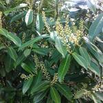 Prunus laurocerasus - Laurierkers - Prunus laurocerasus