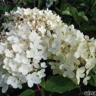 Hydrangea paniculata 'Grandiflora'