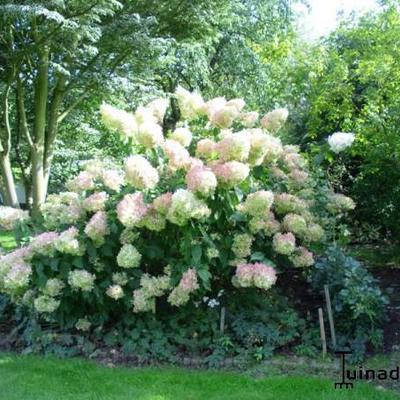 Hydrangea paniculata 'Phantom'