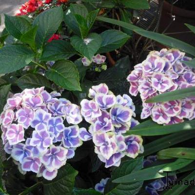 Hydrangea macrophylla 'Bavaria'®
