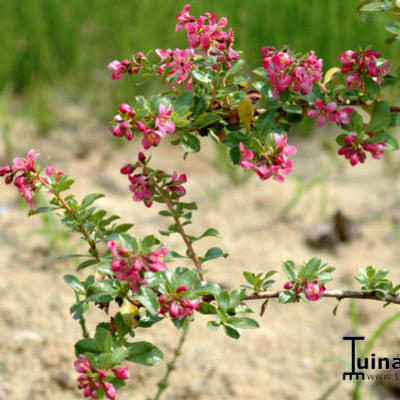 Escallonia - Escallonia 'Donard Seedling'