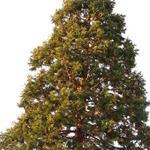 Sequoiadendron giganteum - Mammoetboom - Sequoiadendron giganteum