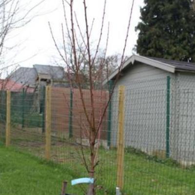 Prunus persica 'Sanguine de Savoie' -