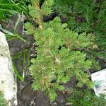 Picea pungens 'Lucky Strike'   - Blauwe spar - Picea pungens 'Lucky Strike'
