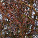 Salix 'Erythroflexuosa' - Salix 'Erythroflexuosa' - Krulwilg, kronkelwilg