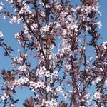 Prunus cerasifera 'Nigra' - Kerspruim