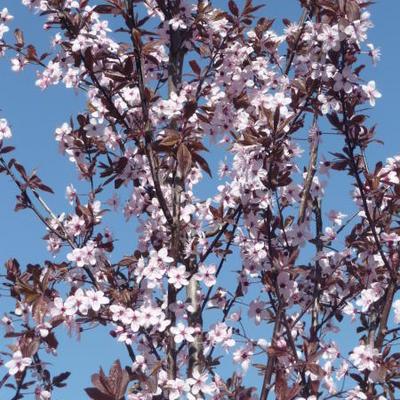 Prunus cerasifera 'Nigra'  -