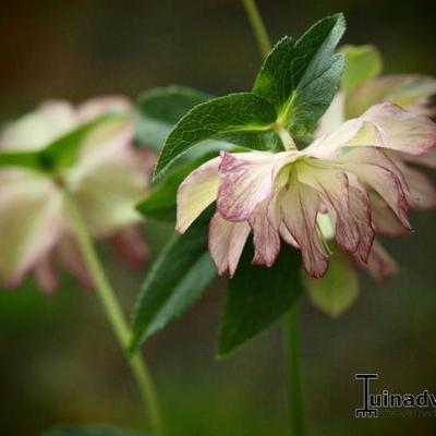 Helleborus  'Stained Glass' - Kerstroos