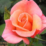 Rosa 'Warm Wishes'  - Rosa 'Warm Wishes'  - Roos