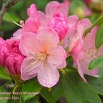 Rhododendron 'Percy Wiseman' - Rododendron