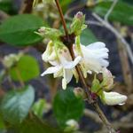 Abeliophyllum distichum - Abeliophyllum distichum - Sneeuwforsythia, Witte forsythia
