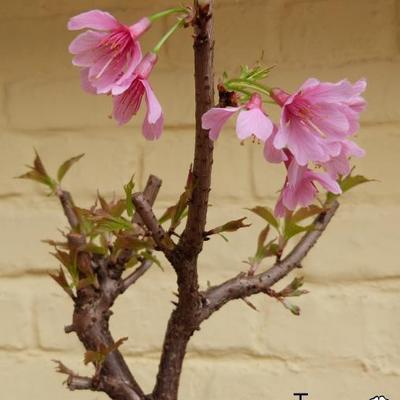 Prunus incisa 'Paean' -
