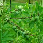 Prunus domestica 'Opal' - Pruimelaar