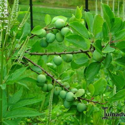 Prunus domestica 'Opal' -