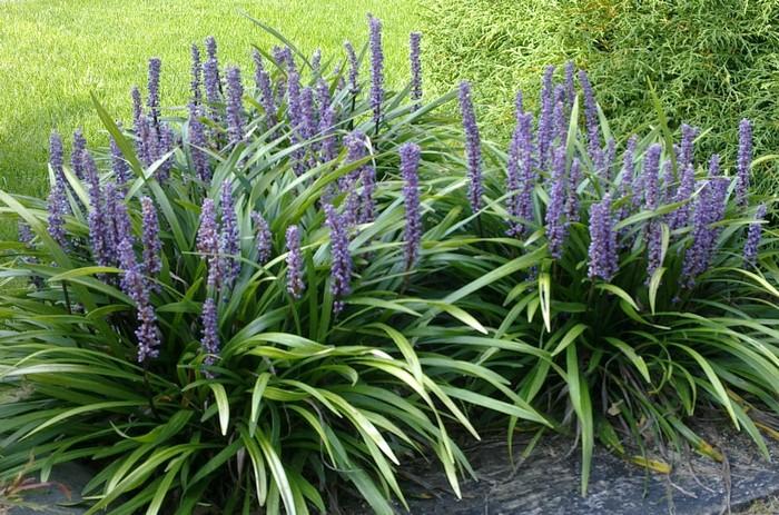 Leliegras Liriope Muscari Planten Online Kopen