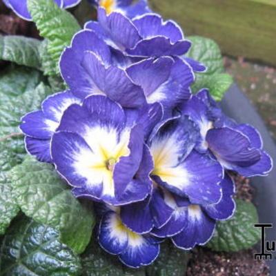 Primula polyanthus -