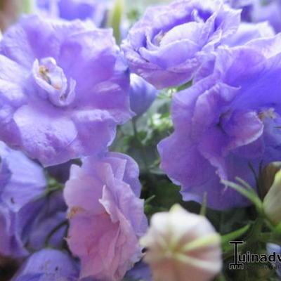 Campanula cochleariifolia 'Blue Wonder' -
